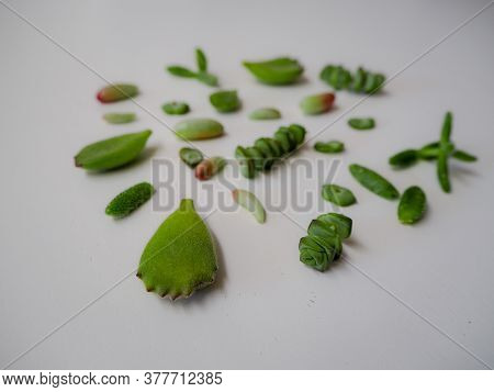 Variety Of Multiple Green Succulent Leaves Such As Sedum, Crassula, Cotyledon, On A White Background