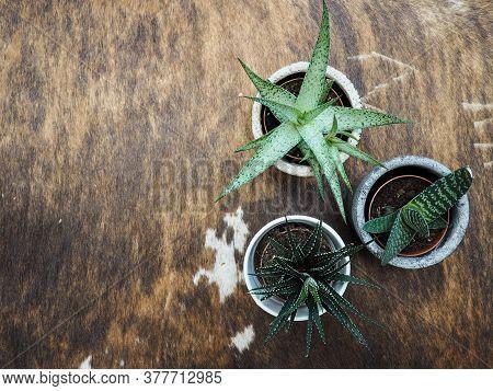 Two Haworthia ( Zebra Haworthia And Haworthia Limifolia)  And One Gasteria Pillansii Succulent Plant