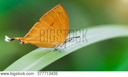 cute orange butterfly with a funny tail on a green leaf, gracious and fragile Lepidoptera with colorful wings and white hairy body, in the tropical island of Koh Phayam, Thailand