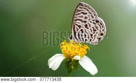 cute black and white butterfly on a daisy flower, macro photography of this gracious and delicate Lepidoptera insect in a tropical botanical garden, Chiang Mai, Thailand