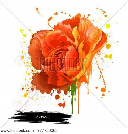 Red Poppy Papaver Orientale Isolated On White. Intense Brilliant Red Of The Flanders Poppy. Symbol O