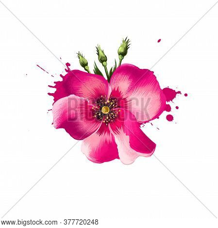 Digital Art Illustration Of Shrub Rose Isolated On White. Hand Drawn Flowering Bush Rosa Rubiginosa.