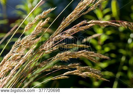 Garden And Park Plant Reed Grass Close-up. Focus On Individual Stems. High Contrast Image. Floral Ba