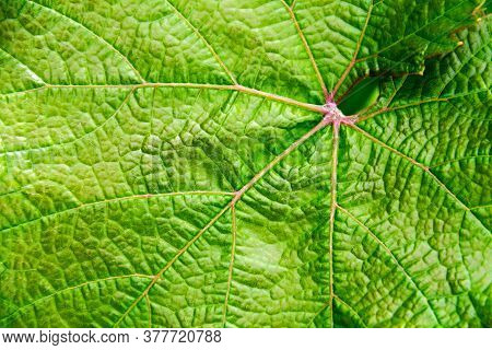 Grape Leaf Close Up. Contrast Image. Detailed Plant Texture. Solar Glare Underlines The Texture Of T