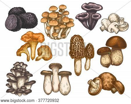 Hand Drawn Mushrooms. Colorful Sketch Various Edible Mushroom Truffle, Champignon, Black And King Tr