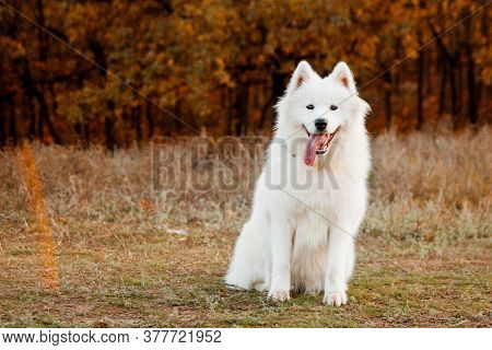 Samoyed Dog Portrait In Autumn Park. Canine Background. Walk Dog Concept. Copy Space