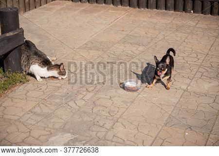 Dog And Cat Eat. A Gray-white Cat And A Chihuahua Dog Eat Dry Food. Dog And Cat Are Fed Side By Side