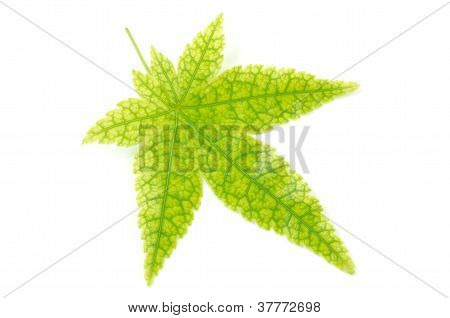 Maple leaf with prominent veins