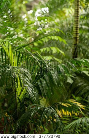 Green Plants In Tropical Rainforest In Rain Season. Green Palm Leaves In Tropical Forest With Water