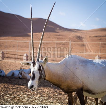 Large Antelopes With Spectacular Horns, Gemsbok, Oryx Gazella, Being Bred In Captivity In Oman Deser