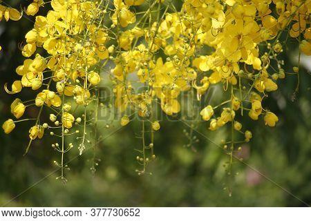 Cassia Fistula Or Golden Shower National Flower Of Thailand