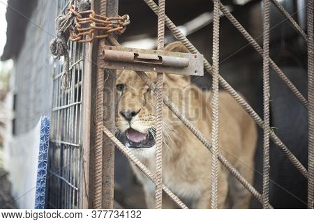 Lion Cub In A Cage. The Lion Is Locked In A Valier. The Animal Is In Captivity. Poor Lion Keeping. S