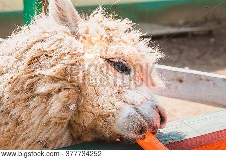 Close-up Of The Head Of An Alpaca. Feeding Animals Carrots In The Aviary