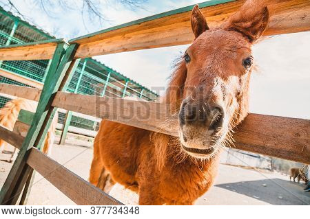 An Orange Colt Stands And Looks At The Camera Behind A Wooden Fence In The Stable. Keeping Pet Ponie