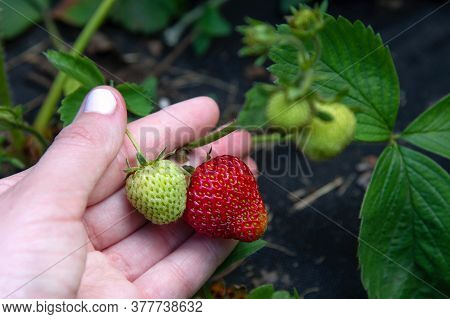 A Female Hand Holds A Strawberry That Is Ripening In The Garden