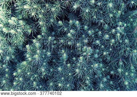 Background With Evergreen Tree Branches With Small Needles.