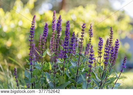 Background Or Texture Of Salvia Nemorosa Caradonna Balkan Clary In A Country Cottage Garden In A Rom