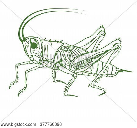 Outline Illustration Of A Cricket. Detailed Solid Color Image Of A Cricket, Grasshopper, Isolated On