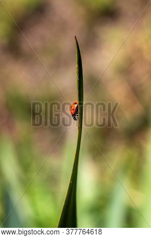A Portrait Of A Red Ladybug With Black Spots Running Down A Blade Of Grass In A Garden. The Insect I
