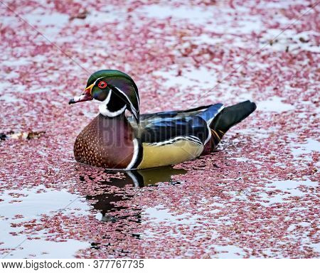 Colorful Male Wood Duck Carolina Duck Aix Sponsa Perching Duck Red Algae Juanita Bay Park Lake Washi