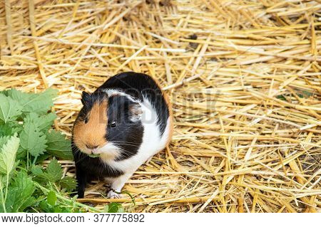 Guinea Pig Looking At Camera. Adorable Fur Pet Eating Nettle Foliage. Funny Little Hairy Rodent Clos