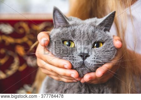 A Muzzle Of A Gray British Cat With Bright Yellow Eyes Close-up In Childrens Hands. Portrait Of A Pu