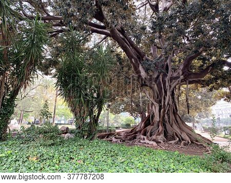 A Huge Deciduous Tree In The Park. Giant Ficus In Valencia. Powerful Roots, Trunk And Branchy Crown