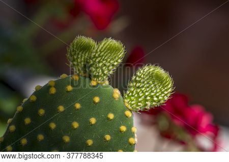 The Green Flat Cactus Background Is Beautiful. Cactus Texture Natural Background. Flat Leaves Of Gre