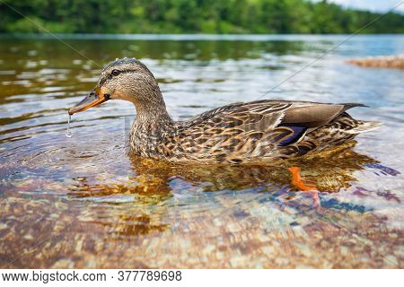 Cute Close Up Duck Portrait In A Clean Summer Lake