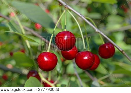 Red Cherries Ripen On The Branch. Close-up Shot. Selective Focus.