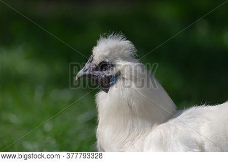 4 - Portrait Side Profile Of A Pet Bantam Silkie Chicken Lit By Sunlight.