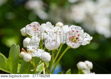 Close Up Of Mayflower (crataegus Laevigata) Blossom