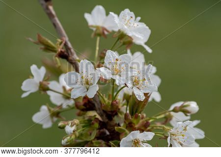 Close Up Of White Cherry Blossom Covered In Waterd Droplets