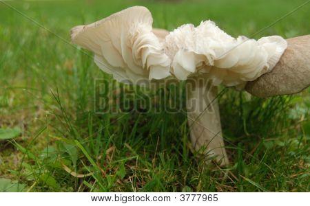 Frilly Mushroom
