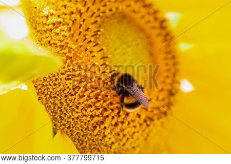 Close Up Of White Tailed Bumblebee, Bombus Terrestris, On A Sunflower, Helianthus