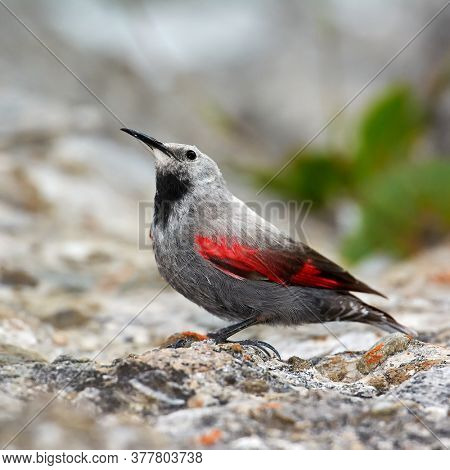 The Wallcreeper (Tichodroma muraria) in natural habitat searching for insects