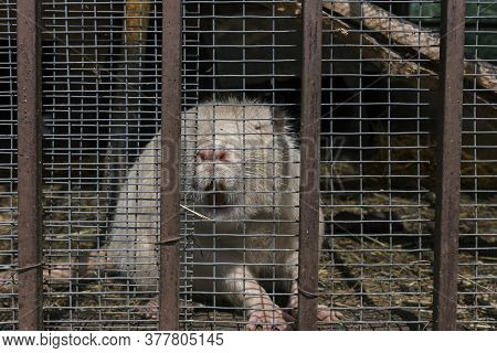 White Nutria Myocastor Coypus In The Cage At The Farm