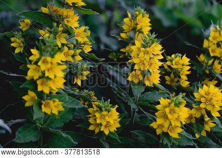 Many Yellow Small Flowers In The Flowerbed