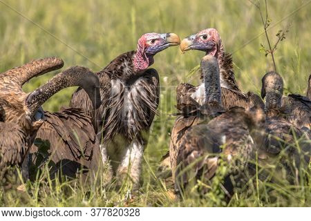 Socialising Lappet-faced Vulture (torgos Tracheliotus) With Pink Head Display With White-backed Vult