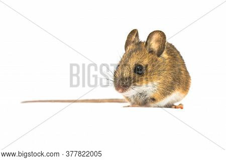 Pretty Wood Mouse (apodemus Sylvaticus) Isolated On White Background. This Cute Looking Mouse Is Fou