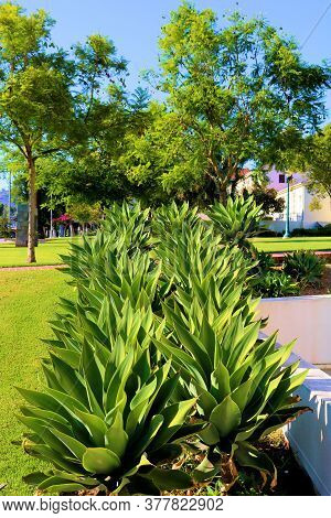 Rows Of Agave Plants On A Courtyard Surrounded By A Manicured Lawn And Gardens Taken In A Botanical