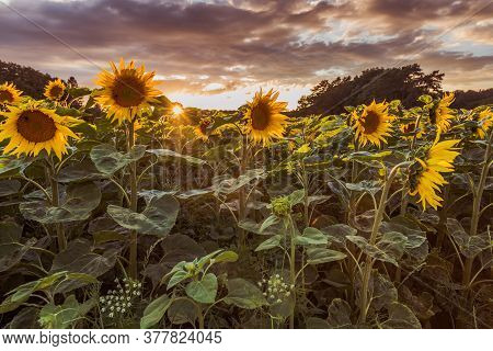 Flowering Sunflowers (helianthus) On A Field At Sunset