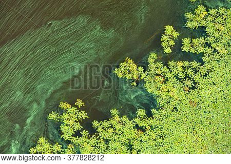 Green Algae And Plankton Gradually Cover The Surface Of The Blooming Water, The Concept Of Pollution