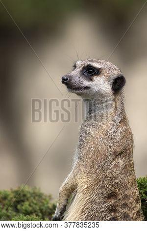 Meerkat On A Green Bush, A Portrait