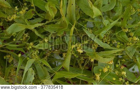 Linden Flowers Tilia Platyphyllos Are Dried For Herbal Tea. Close-up View From The Top.