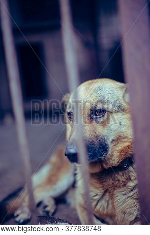 A Big Sad Shepherd In An Old Aviary. Toned, Style Photo