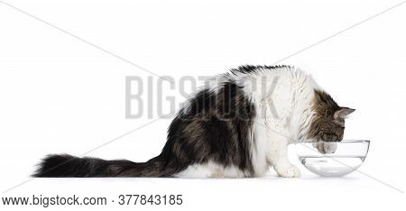 Norwegian Forestcat, Sitting Side Ways, Drinking Water From Glass Bowl. Isolated On White Background