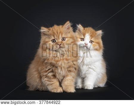 Fluffy Duo Of British Longhair Kittens, Standing Beside Each Other. Looking Towards Camera. Isolated