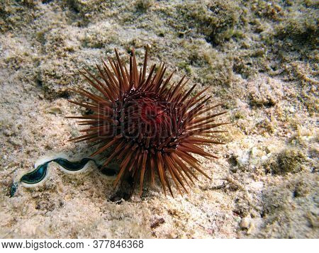 Sea Urchin-scallover - Grows Up To 9 Cm. It Feeds On Detritus, Algae. Drills Holes In Dead Corals, F