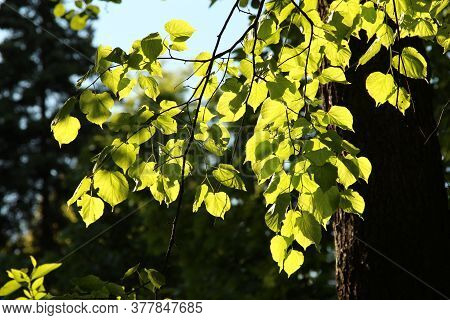 Bright Green Linden Leaves Lit  By Sun
